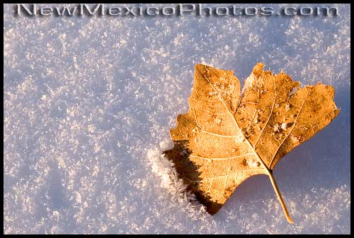 A lone cottonwood leaf rests, near the end of the day, in freshly-fallen snow