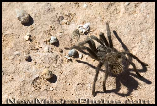 A large hairy spider creeps and crawls over the sand at Ghost Ranch
