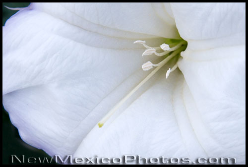 a large white datura blossom fills the frame