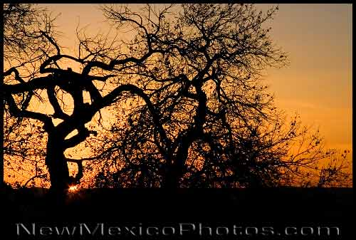 A cottonwood tree is silhouetted by a sunset at Elena Gallegos Picnic Area