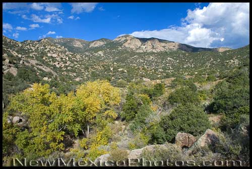 Cottonwood leaves starting to change color in the Sandias