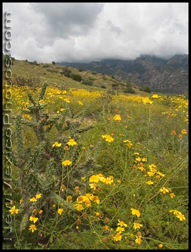 A field of yellow wildflowers in the northwestern foothills of the Sandia mountains