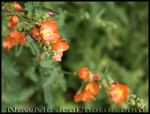 orange globemallow blossoms