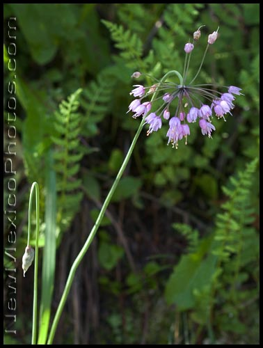 nodding onion and ferns