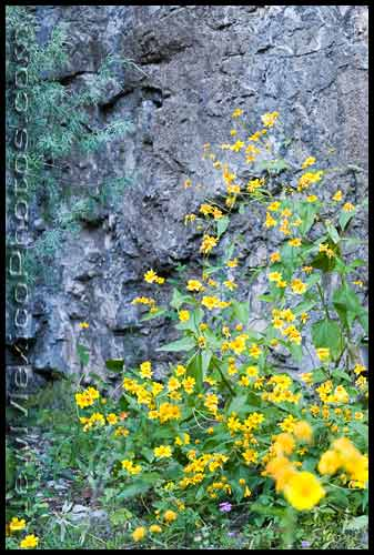 yellow and purple wildflowers line the walls of Otero Canyon