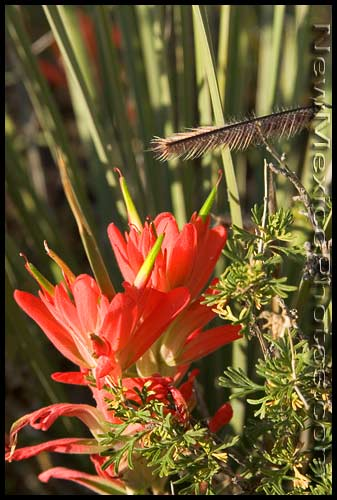 Indian paintbrush and a blade of blue grama grass, with a background of yucca leaves