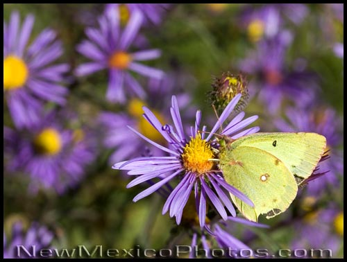 a yellow butterfly -- some type of sulfur -- enjoys a purple aster
