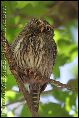 northern pygmy owl