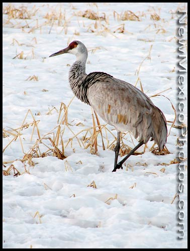 A greater sandhill crane, migrating through the Rio Grande Valley, forages for food in the snow