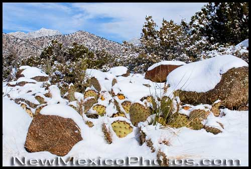 prickly pear and the distinctive granite boulders of the sandia foothills are covered with snow
