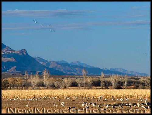 Snow geese and sandhill cranes congregate in a field at Bosque del Apache National Wildlife Refuge