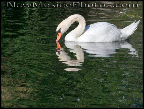 a swan and its reflection in the pond at the rio grande botanic garden