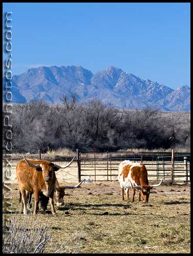 Longhorn cattle on a ranch near Socorro