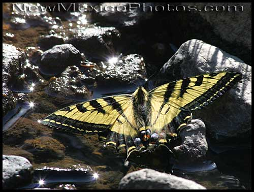 western tiger swallowtail butterfly in a stream