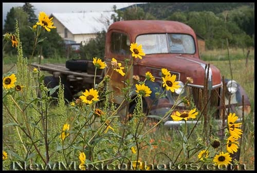 an old pickup truck, partly obscured by sunflowers
