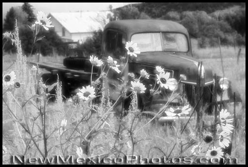 an old pickup truck bordered by sunflowers, in black and white