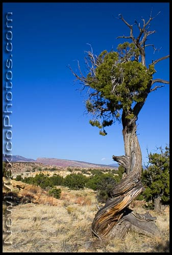 A gnarled and twisted tree in the Ojito wilderness area