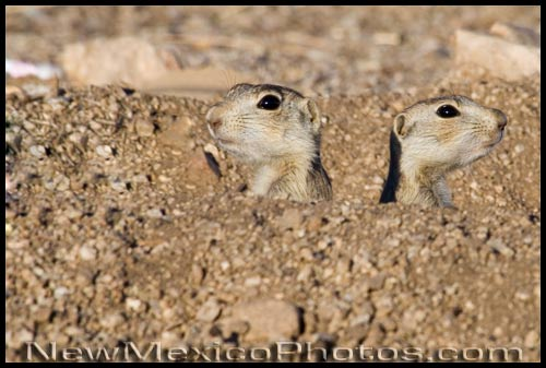 two prairie dog heads sticking out of their burrows