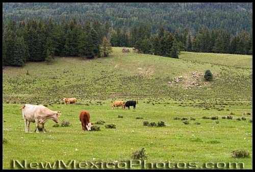 cows grazing in the valles caldera