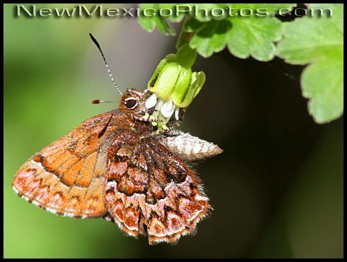 western pine elfin butterfly