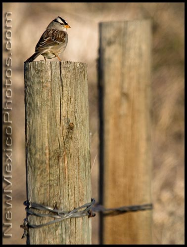 A white-crowned sparrow sits on a fence post, in late afternoon