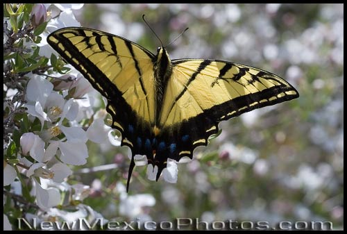 A two-tailed swallowtail butterfly flower-hops among cliff fendlerbush blossoms