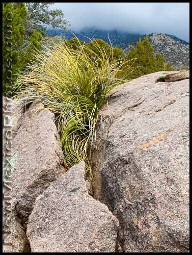 beargrass grows in the cracks of a boulder in the Sandia foothills