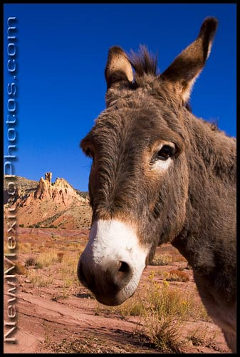 A burro poses for a portrait in front of Chimney Rock, at Ghost Ranch