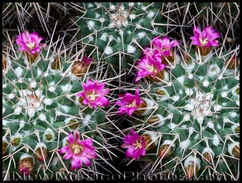 A couple of cactuses at the Rio Grande Botanic Garden, in Albuquerque, sport buds and blossoms