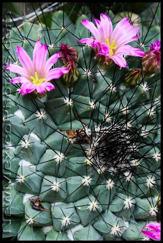 A pair of cactus blossoms at the Rio Grande Botanic Garden in Albuquerque