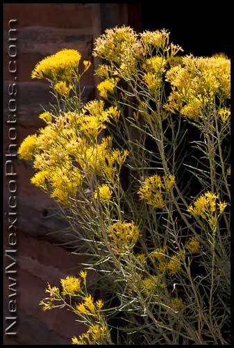 Chamisa in bloom in northern New Mexico, a beautiful -- though smelly -- harbinger of fall