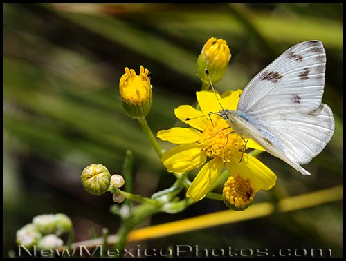 A checkered white butterfly (Pontia protodice) grazes amongst bright yellow wildflowers