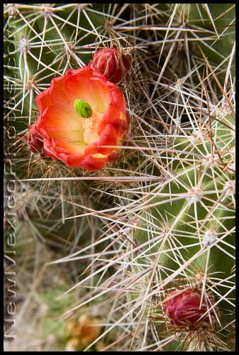 One of the first cactus blossoms of the season, a claret cup, spotted in the Sandia foothills