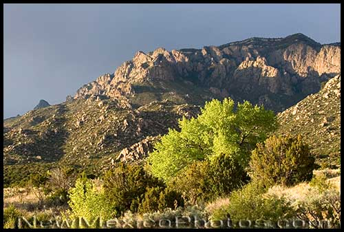 A newly green tree and the Sandia mountains, as seen from Elena Gallegos Picnic Area, are lit by the late afternoon sun
