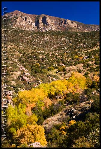 Cottonwoods changing color in Embudo Canyon, in the Sandia Mountains