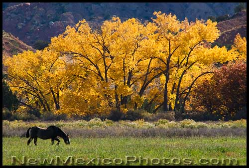 An old horse grazes in a field at Ghost Ranch
