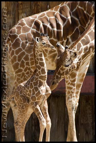 A mother giraffe nuzzles her baby at the Rio Grande Zoo