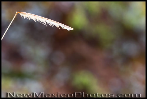 A dried blade of blue grama grass -- wet from an early morning rain -- is framed against a rock covered with multi-colored lichen