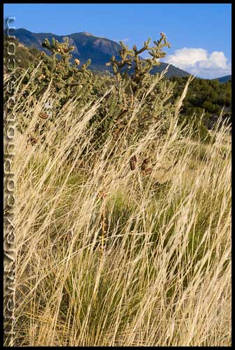 The Sandia mountains act as a backdrop to cholla cactus and tall summer grass in the foothills