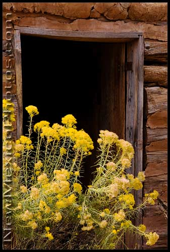 Blooming chamisa blocks the doorway of a hogan at Ghost Ranch