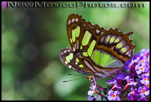A malachite butterfly at the PNM Butterfly Pavilion, which is part of the Rio Grande Botanic Garden in Albuquerque