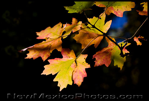 Colorful maple leaves, lit by the sunlight of a perfect fall day, in the Manzanos