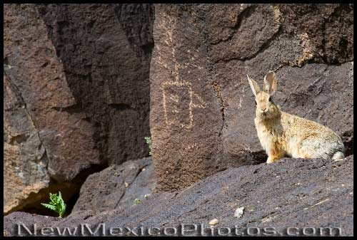 Peter Cottontail was recently spotted among the petroglyphs at Piedras Marcadas, on the west side of Albuquerque