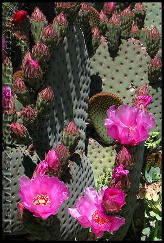 pink buds and blossoms erupt from a bed of prickly pear in a yard near downtown Albuquerque