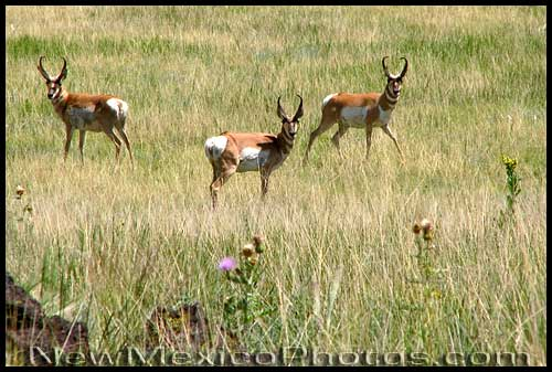 Three pronghorns look straight at the camera, as curious about the photographer as she is about them