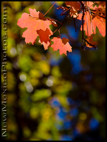 Rocky Mountain Maples changing color in Fourth of July Canyon, in the Manzano Mountains