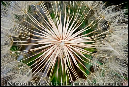 A salsify seed head displays Mother Natures magnificent grasp of geometry