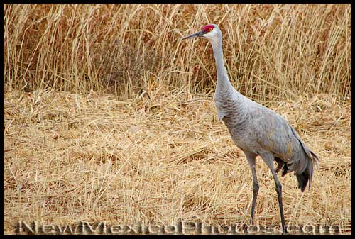 A sandhill crane pauses while browsing for dinner in a field in the North Valley of Albuquerque