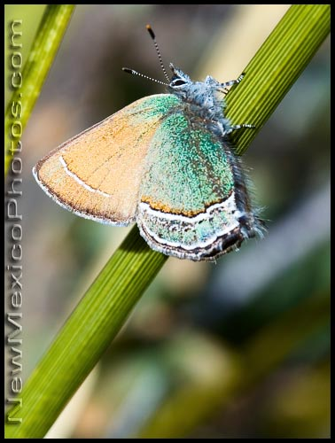 A Sandia hairstreak, the state butterfly of New Mexico, clings to a blade of bear grass