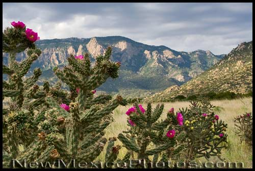 A profusion of cholla cactus blossoms, with the Sandia Mountains in the background, on the longest day of the year